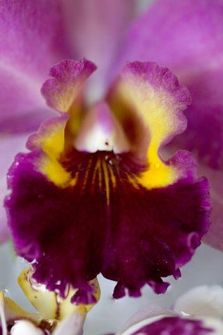 Orchidée Cattleya_002