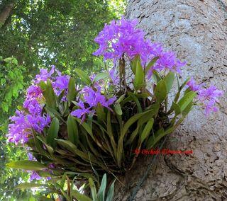 Orchidée-cattleya-skinneri