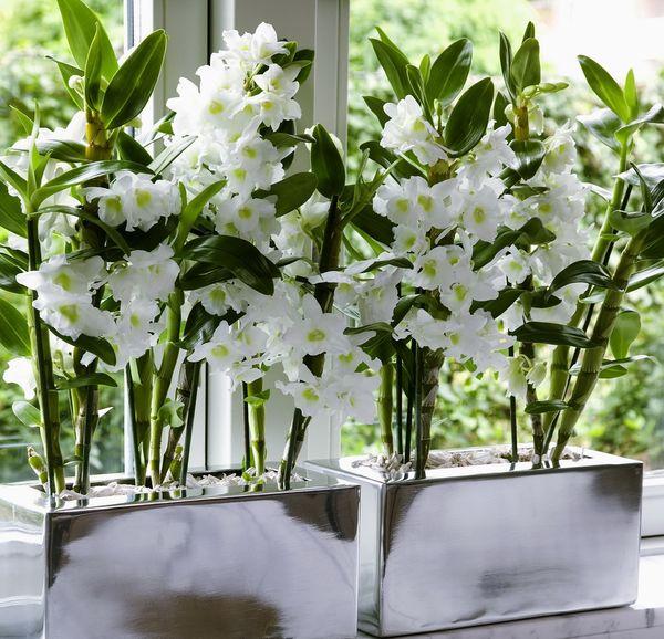 4 conseils pour les orchid es dendrobium le pouvoir des fleurs. Black Bedroom Furniture Sets. Home Design Ideas