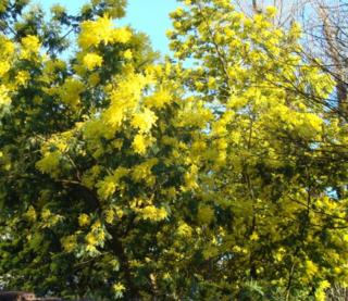 Mimosa dans la nature
