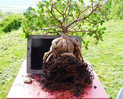 Ficus microcrapa ginseng J-Bruffin_04