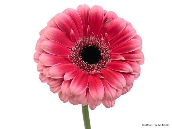 les gerberas conseils pour les conserver le pouvoir des fleurs. Black Bedroom Furniture Sets. Home Design Ideas