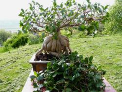 Ficus taille