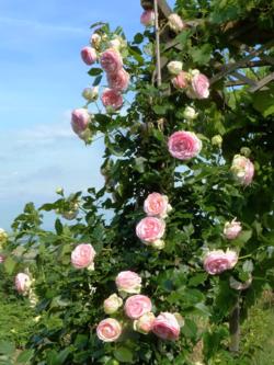 Roses Pierre de Ronsard_02