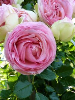Roses Pierre de Ronsard_03