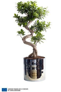 07.Ficus.11