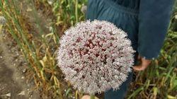 Allium_10