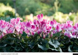 Cyclamens MOREL 04