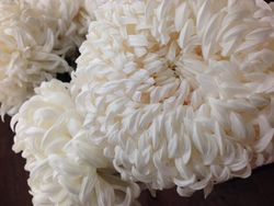 Chrysantheme 11