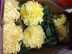 Chrysantheme 12