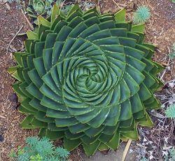 Aloès spirale