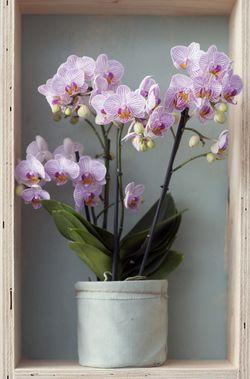 Phalaenopsis plante