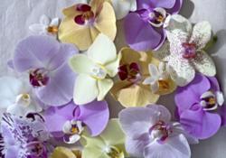 Phalaenopsis fleurs
