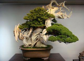 Bonsai 06