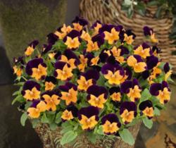 Viola cornuta 7