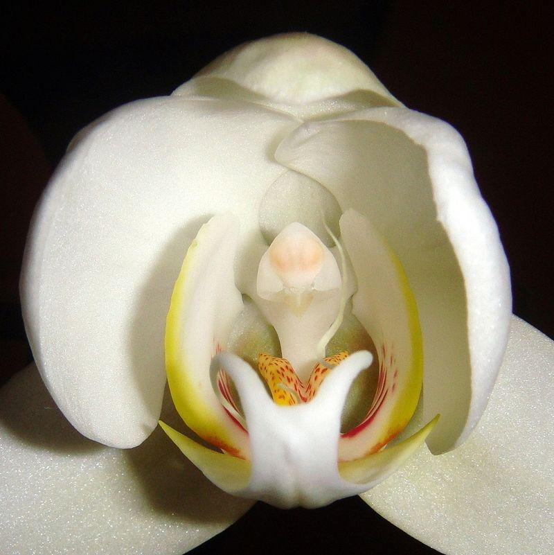 Fleur-lèvres