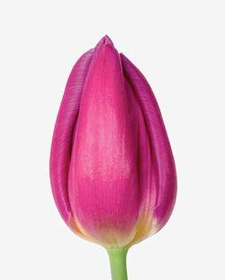 SICA tulipe Purple Prince