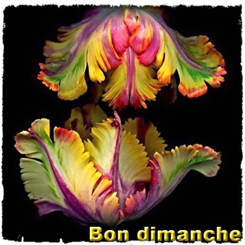 Tulipe double