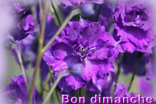 Delphinium dimanche