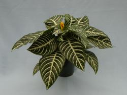 Aphelandra plante