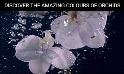 Colours Orchids