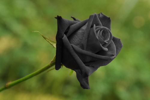 Rose Halfeti