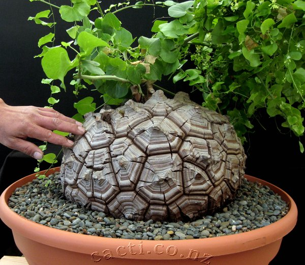 Dioscorea-elephantipes-8