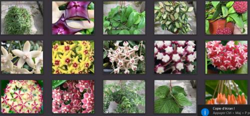 Orchidarium 9 hoyas