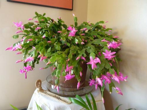 Schlumbergera-plante