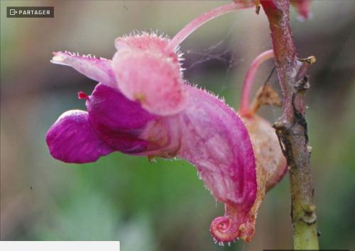 Fleurs Impatiens kingdom-wardii