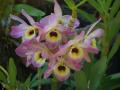 Orchidée Dendrobium JB