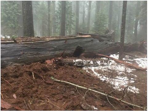 Sequoia_03