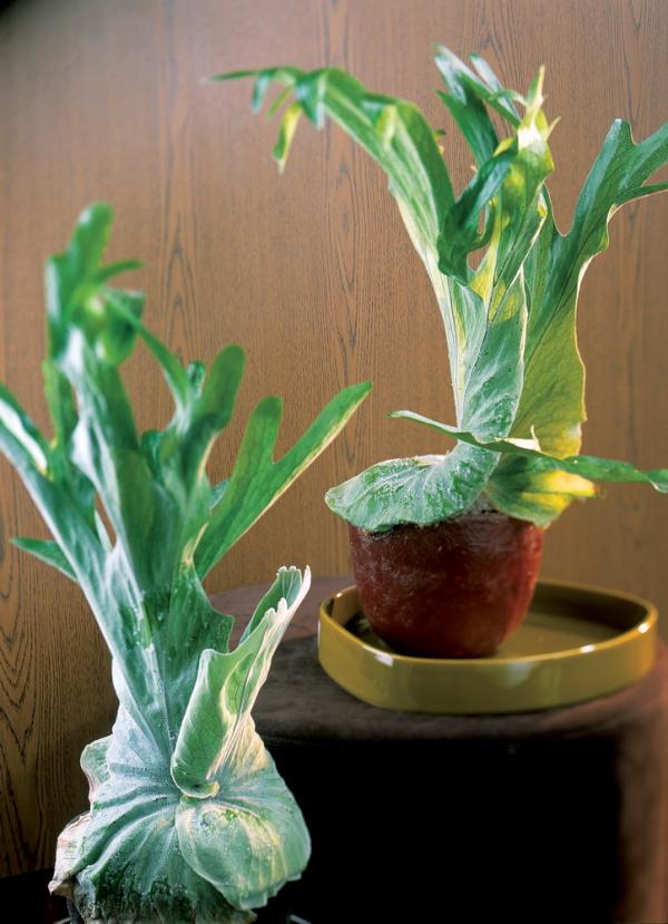 le platyc rium ou corne de cerf le pouvoir des fleurs. Black Bedroom Furniture Sets. Home Design Ideas