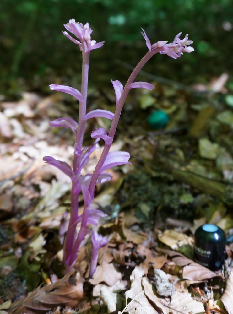 Orchidée Epipactis pupurata bl