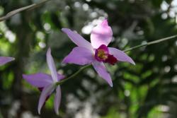 Orchidee-laelia-anceps