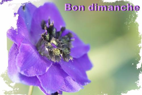 Delphinium kissi blue velvet 01