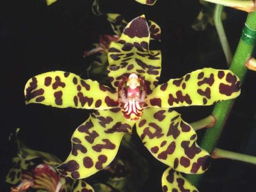 Orchidée tigre