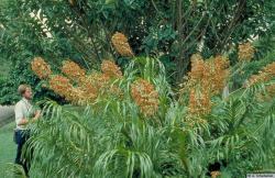 Orchidee tigre 02