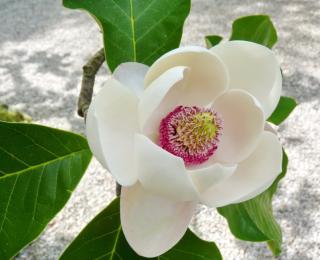 Fleurs des îles Borromées_15