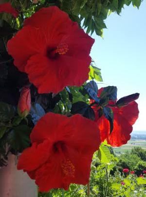 Jb-hibiscus_06
