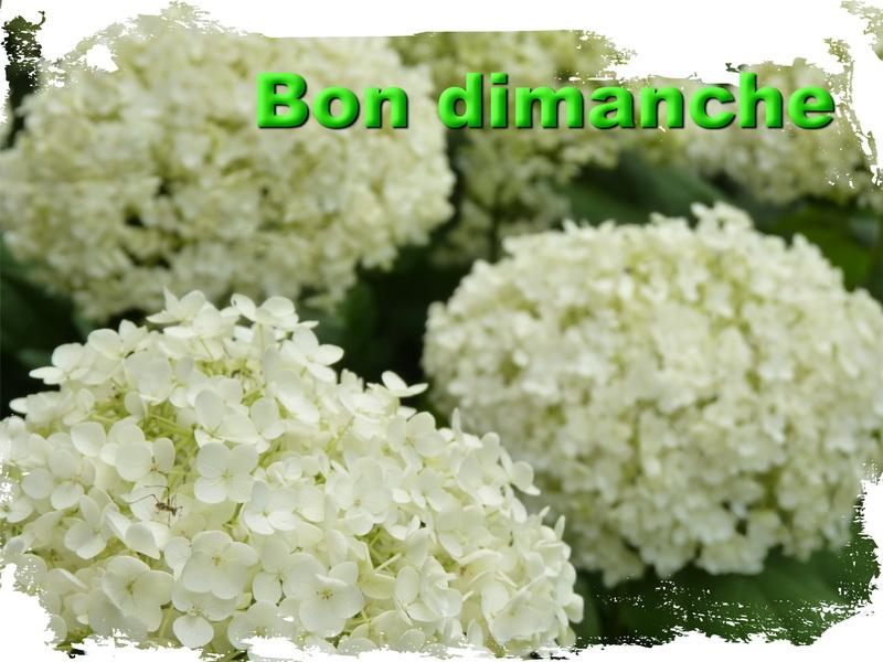 Hortensia 2