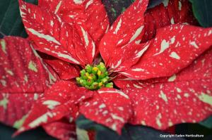 Poinsettia_02