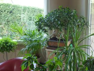 Ficus pouvoir des fleurs