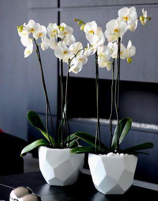 Orchdidée Phalaenopsis_11