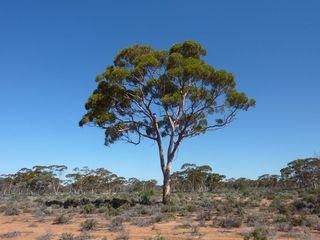 Eucalyptus-feuille-or_Mel-Lintern