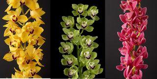 Orchidées Cymbidium_00