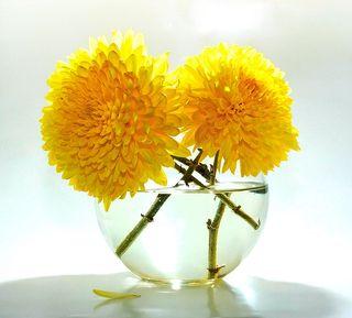 Chrysantheme boule_01