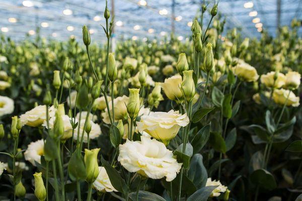 3 conseils pour conserver longtemps les lysianthus ou eustoma chez vous le pouvoir des fleurs. Black Bedroom Furniture Sets. Home Design Ideas