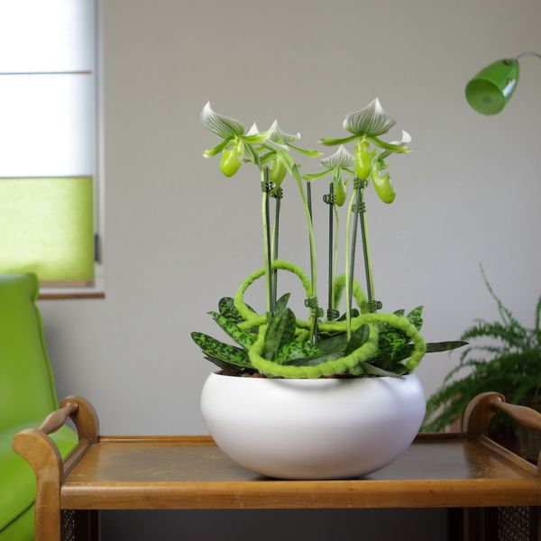 5 conseils pour l 39 entretien de l 39 orchid e paphiop dilum ou - Orchidee sabot de venus ...