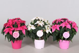Poinsettia MoreLIPS